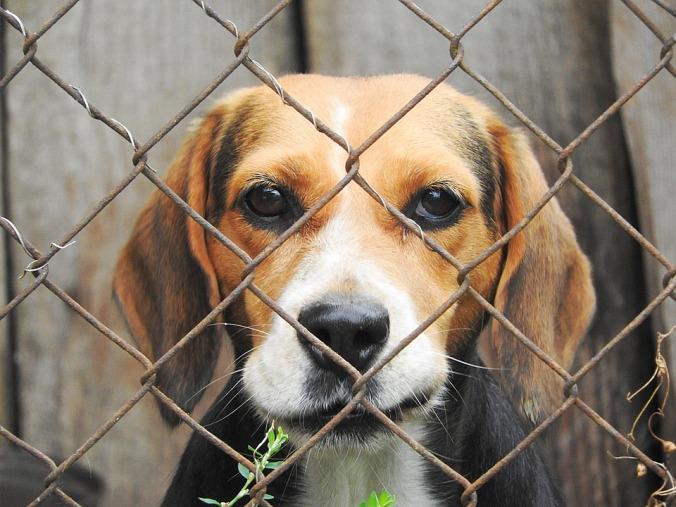 beagle-938012_960_720